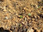 ブロッコリーの芽