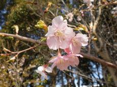 お台場ー桜