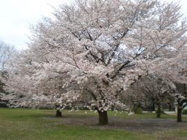 砧の桜ー2