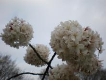 もこもこ桜
