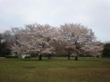 砧の桜ー1