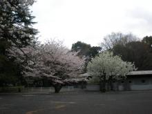 砧の桜ー3