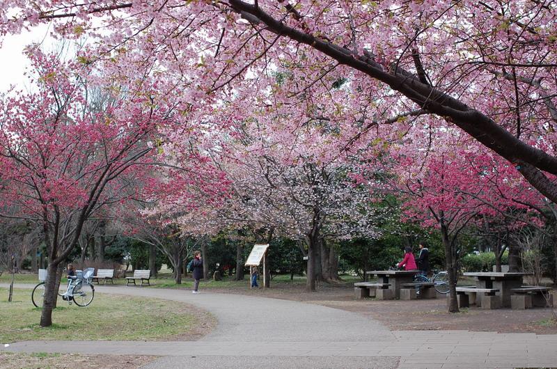 西園の桜2