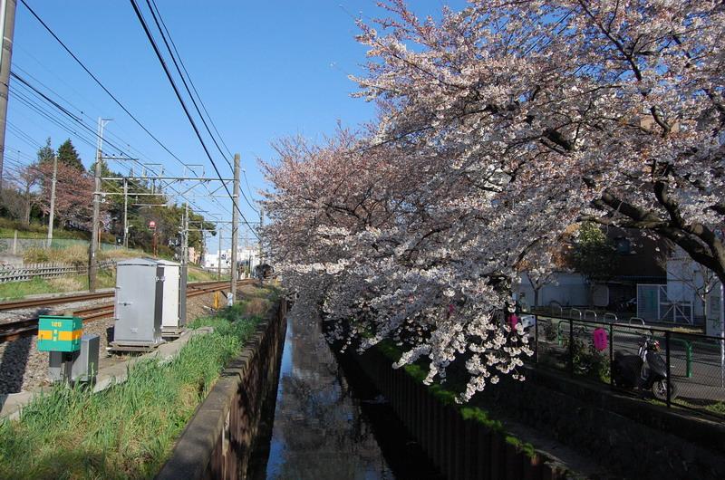 石神井川ソメイヨシノ3