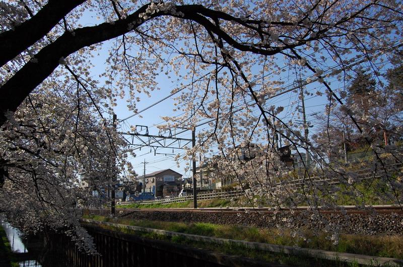 石神井川ソメイヨシノ1