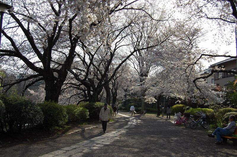 善福寺桜2