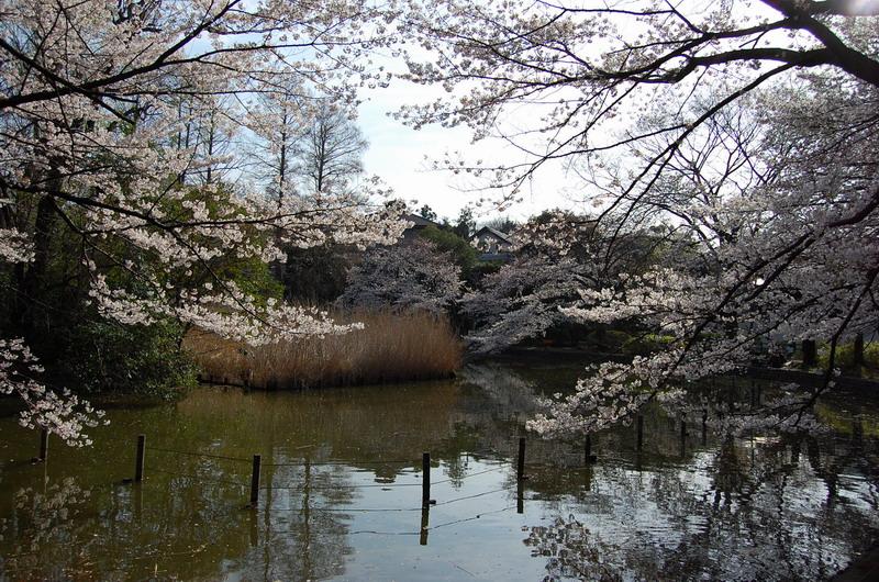善福寺桜4