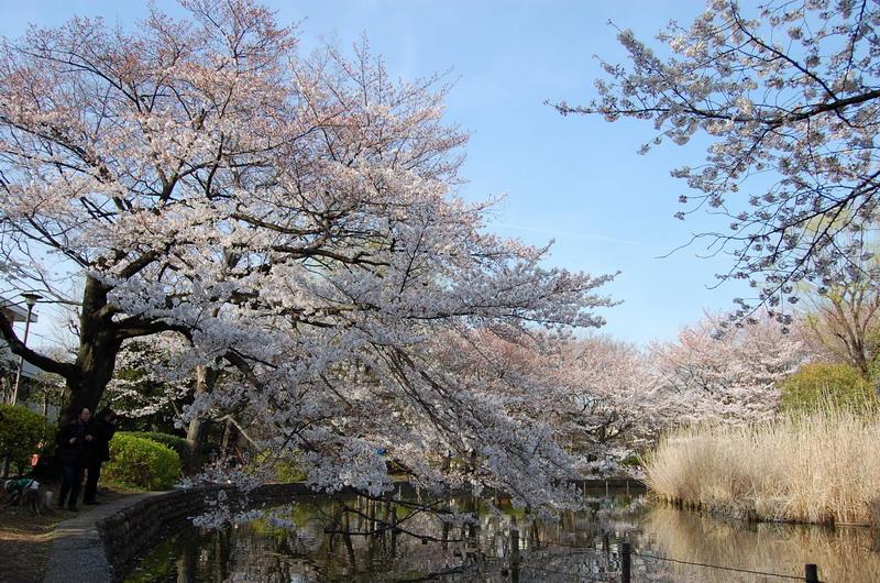善福寺桜6