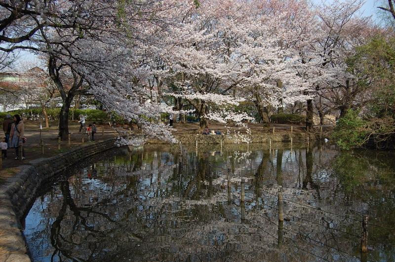善福寺桜7