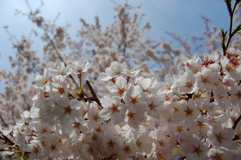 善福寺川桜3
