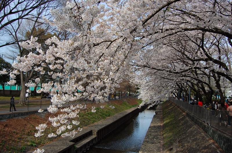 善福寺川桜7