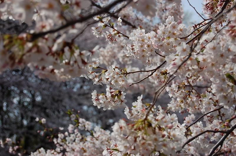 善福寺川桜6