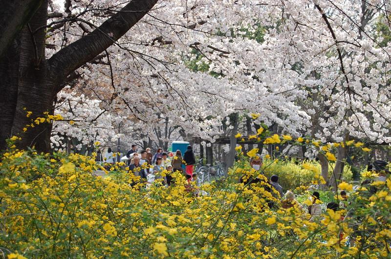 善福寺川桜9