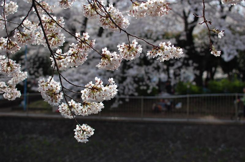 善福寺川桜11