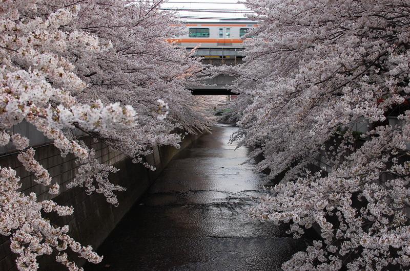 神田川桜4