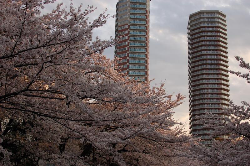 神田川桜5
