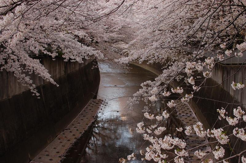 神田川桜6