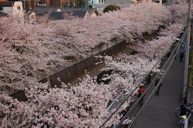 神田川桜7