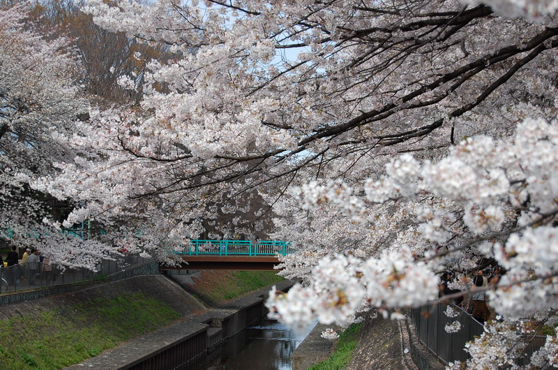 善福寺川桜8