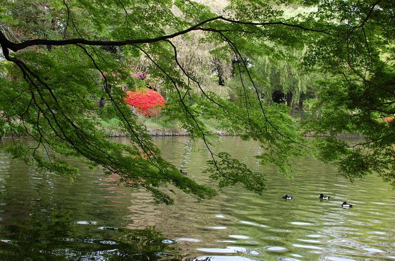 上池もみじ新緑