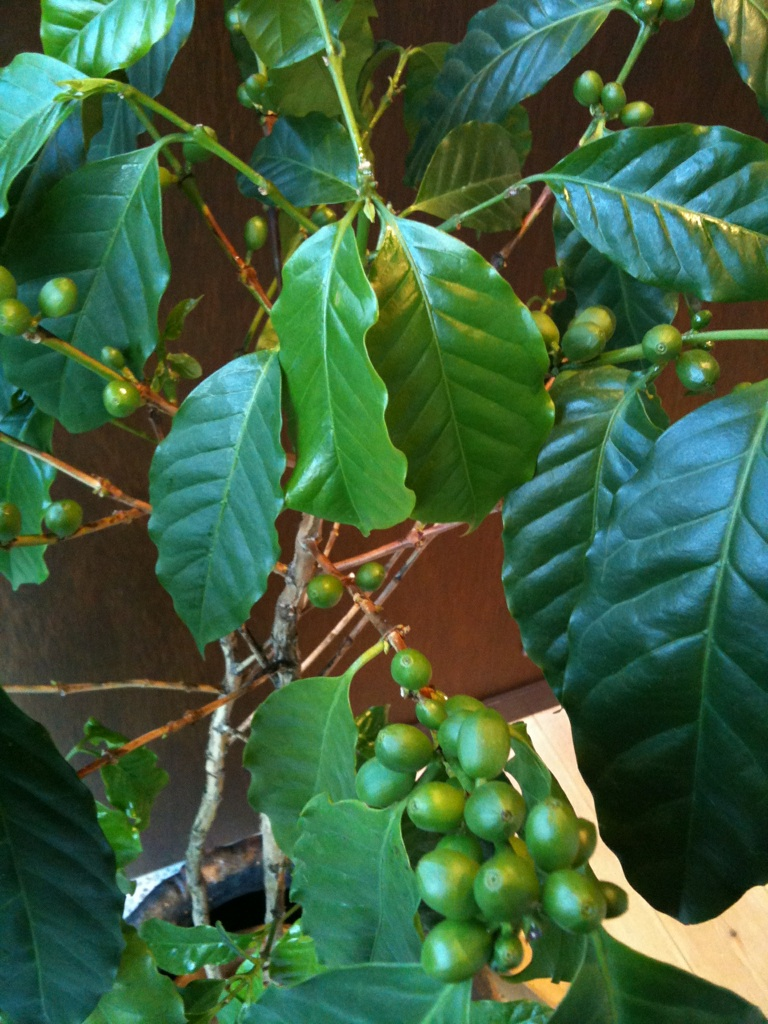 green beans8月