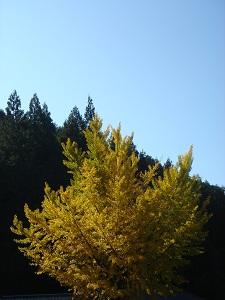 銀杏 (1)