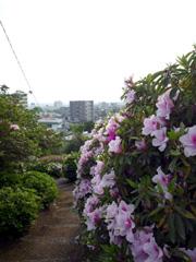 大津つつじ祭の日吉神社でツツジ鑑賞☆