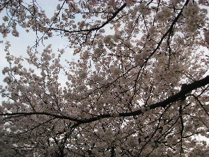桜 006