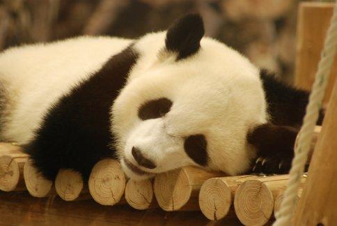 panda-1-11-1.jpg