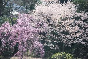 京都・二条城桜