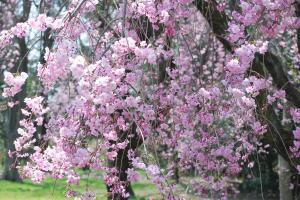 京都・枝垂れ桜