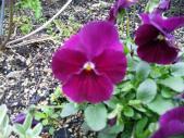 赤紫ビオラ