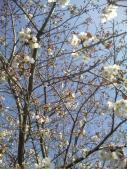 青空m見上げる桜