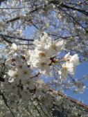 花の道桜アップ