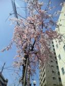 南口からしだれ桜