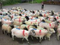 sheeprushdingle