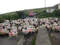 sheeprushdingle2