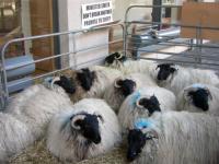 sheepintown2