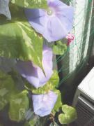 【写真】縦に三つ並んだ朝顔の花