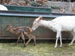 CIMG3262_convert_20110529140719シカ赤ちゃん