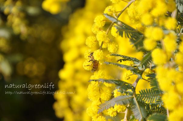 ミモザと蜂