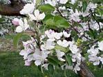 りんごの花B