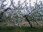 りんごの花A