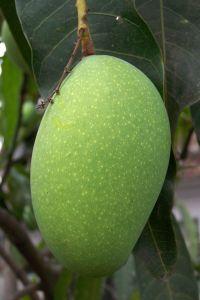 greenmango10.jpg