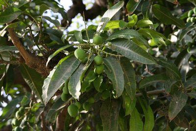 mango-mar10.jpg