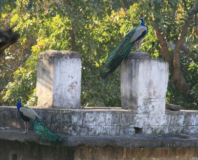 peacock-mar10.jpg