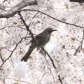 sakura-hiyodori.jpg