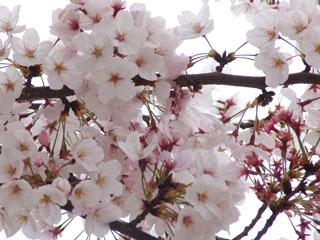 kyukakouen2001sakura2.jpg
