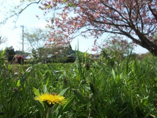 PICT0106jyaesakura.jpg