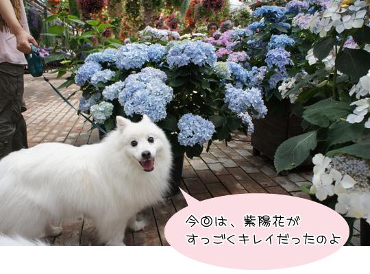 マリア紫陽花